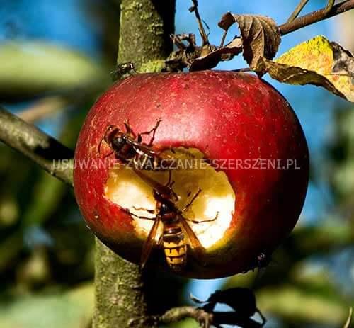 szerszeń zjada jabłko na działce w błoniu